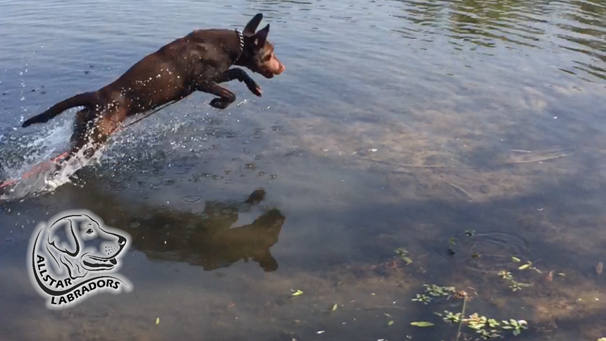 Labrador Retriever Running in the water